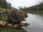 water vole survey