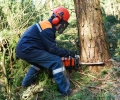 Felling a tree – Conservation Areas, TPOs and the Forestry Act